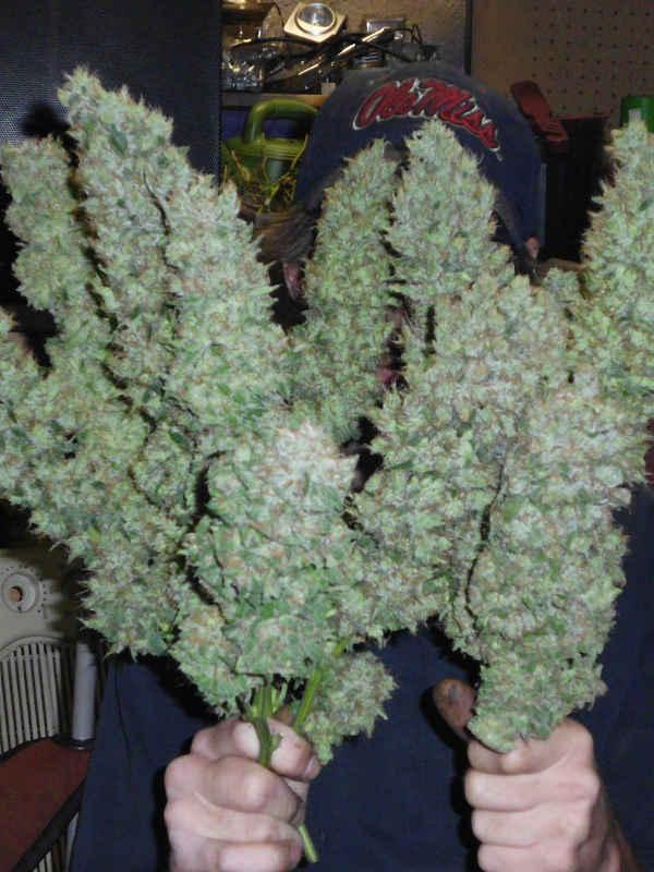 cannabis flower Aiea Delta 9 Labs