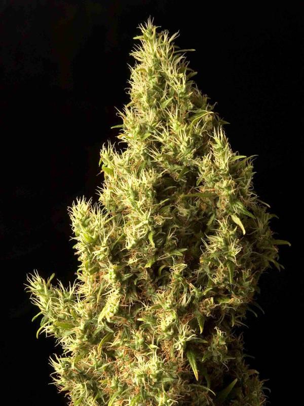 cannabis flower Brainstorm Haze Delta 9 Labs