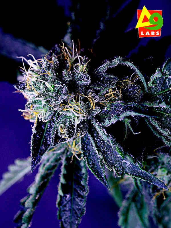 cannabis flower Merkabah Delta 9 Labs