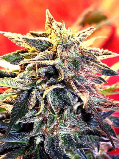 cannabis flower Stargazer Delta 9 Labs