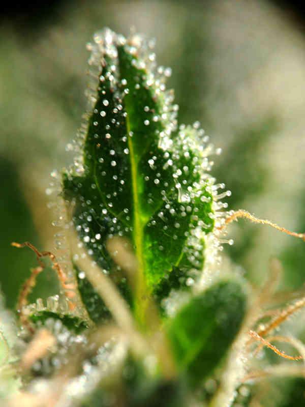 cannabis flower Strawberry Skunk Delta 9 Labs