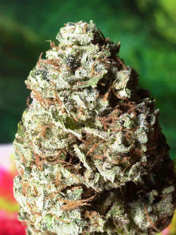 cannabis flower Super Star Delta 9 Labs